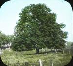 Great Maple, Amston, Connecticut by Herbert Keightley Job