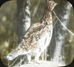 Young Female Ruffed Grouse, Amston, Connecticut