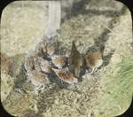 Young Bobwhites and Bantams, Amston, Connecticut