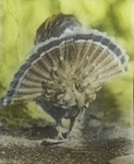 Ruffed Grouse Strutting, Rear, Bristol, Connecticut