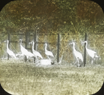 Cranes, Experiment Station, Darien, Connecticut