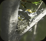Female Black-throated Green Warbler at Nest, East Haven, Connecticut