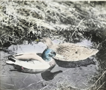 Pair of Mallards, Gaylordsville, Connecticut