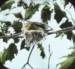 Yellow-throated Vireo on Nest, Glastonbury, Connecticut