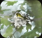Yellow-throated Vireo Singing on Nest, Glastonbury, Connecticut