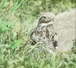 Nighthawk on Nest, Kent, Connecticut