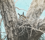 Great Horned Owl Incubating, Gaylordsville, Connecticut