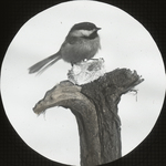 Chickadee, Happy and Hungry, Kent, Connecticut by Herbert Keightley Job