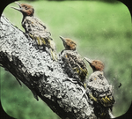 Young Flickers, Kent, Connecticut