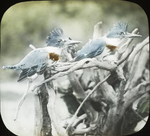 Young Kingfishers, Kent, Connecticut