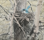 Blue Jay Nesting, Kent, Connecticut