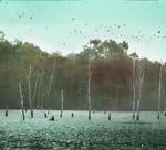 Black Ducks Leaving Pond, Westchester, Connecticut