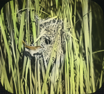Long-billed Marsh Wren at Nest, East Haven, Connecticut