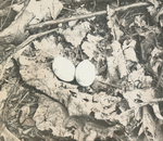 Nest of Whip-poor-will, Kent, Connecticut
