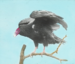 Turkey Buzzard [Turkey Vulture], Kent, Connecticut