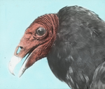 Turkey Buzzard [Turkey Vulture], Head Study, Kent, Connecticut