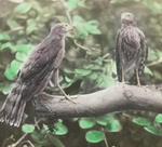 Young Sharp-shinned Hawks, Kent, Connecticut