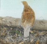 Ruffed Grouse in Captivity, Kent, Connecticut