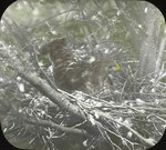 Broad-winged Hawk Incubating, Kent, Connecticut