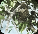 Nest of Orchard Oriole, Kent, Connecticut