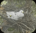 Young Broad-winged Hawks in Nest, Kent, Connecticut