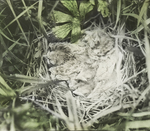 Young Bobolinks in Nest, Kent, Connecticut