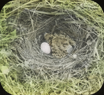 Nest of Meadowlark, Kent, Connecticut