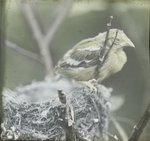 Young American Goldfinch Leaving Nest, Kent, Connecticut
