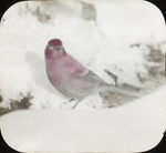 Male Pine Grosbeak, Kent, Connecticut