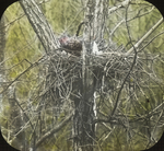 Red-tailed Hawk Incubating, Kent, Connecticut