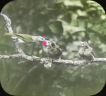 Red-eyed Vireo Feeding Cowbirds, Kent, Connecticut