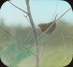 Short-billed Marsh Wren [Sedge Wren], Litchfield, Connecticut