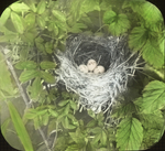 Nest of Alder Flycatcher, Litchfield, Connecticut