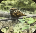 Whip-poor-will Near Nest, New Milford, Connecticut