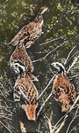 Two Pairs of Quail in Run, Storrs, Connecticut