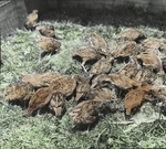Young Quails, Six Weeks Old, Storrs, Connecticut