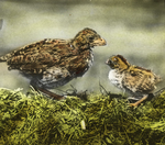 Quail Chicks, Twenty-five and Ten Days Old, Storrs, Connecticut
