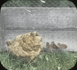 Bantam and Native Quail Chicks, Storrs, Connecticut