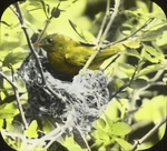 Yellow Warbler Entering Nest, West Haven, Connecticut