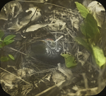 Oven-bird [Ovenbird] Leaving Nest, West Haven, Connecticut
