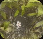 Nest of Blue-winged Warbler, West Haven, Connecticut