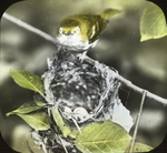 White-eyed Vireo Entering Nest, West Haven, Connecticut