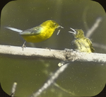 Male Blue-winged Warbler and Young, West Haven, Connecticut