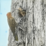 Flicker Feeding Young at Nest, West Haven, Connecticut