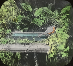 Robin at Birdbath, West Haven, Connecticut