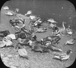 Henry Cook's Ducks, Woodbury, Long Island, New York