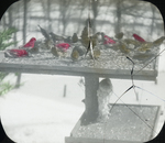 Purple Finches and Tree Sparrows, Derby, Connecticut