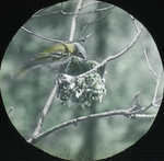 Blue-headed Vireo Nesting, Enfield, Connecticut