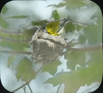 Yellow-throated Vireo Entering Nest, Glastonbury, Connecticut