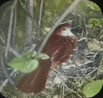 Brown Thrasher and Young, Kent, Connecticut